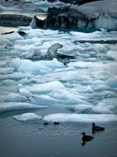 Patos en Islandia