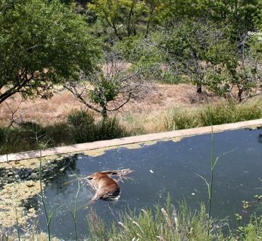 Ciervo ahogado (Fuente: serbal-almeria.com)