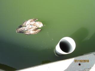 Águila culebrera ahogada (Fuente: levante-emv.com)