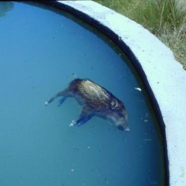 Jabalí ahogado (Fuente: requena.revistalocal.es)