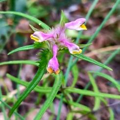 Melampyrum cristatum (Júlia Alcaraz)