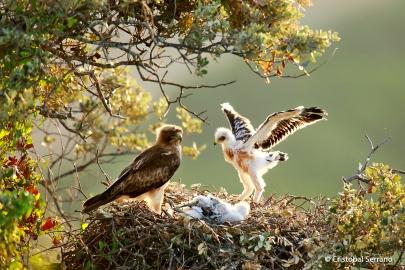 Águila calzada (Cristobal Serrano)